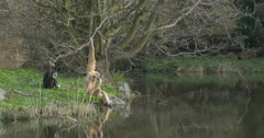 Yellow Long-Armed Monkey Sits on River Bank Stock Footage