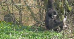 A Long-Armed Black Monkey Digs in a Grass Stock Footage