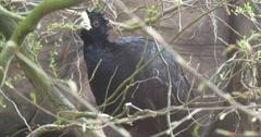 Big Black Bird Knocks by a Beak Stock Footage