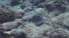 Scythe triggerfish displaying on exposed seaward wall and plateau, Sufflamen Stock Footage