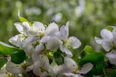 Blossoming Apple Tree Stock Photos