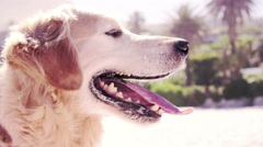 Golden retriever breathing in the sun in cinemagraph Stock Footage