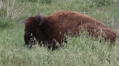 CAMP PENDLETON CALIFORNIA, MARCH 2016, Medium Shot Bison On Meadow Stock Footage