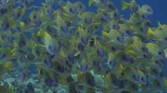 Common bluestripe snapper swimming on exposed seaward wall and plateau, Lutjanus Stock Footage