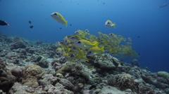Common bluestripe snapper swimming on exposed seaward wall and plateau, Lutjanus Stock Footage