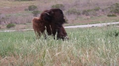 CAMP PENDLETON CALIFORNIA, MARCH 2016, Medium Shot Bison On Meadow Road Stock Footage