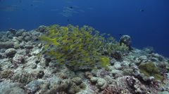 Common bluestripe snapper swimming and schooling on exposed seaward wall and Stock Footage