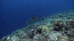 Gold-lined sea bream swimming and schooling on exposed seaward wall and plateau, Stock Footage