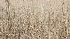 Thickets of reeds in the swamp. Dry reeds. Stock Footage