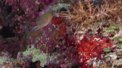 Ambon chromis swimming on protected deep wall, Chromis amboinensis, HD, UP33171 Stock Footage