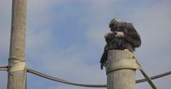 A Big Black Monkey Cleans Its Fur Stock Footage