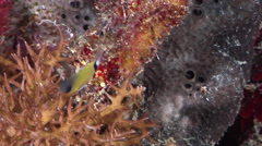 Rear band chromis swimming on protected deep wall, Chromis retrofasciata, HD, Stock Footage