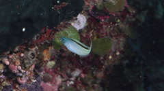 Forktail fangblenny feeding on protected deep wall, Meiacanthus atrodorsalis, Stock Footage