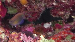 Princess damsel swimming on protected deep wall, Pomacentrus vaiuli, HD, UP33194 Stock Footage