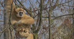 Sad Yellow Monkey Scratches Armpit Stock Footage