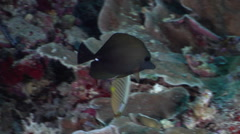 Brushtail tang swimming on protected deep wall at dusk, Zebrasoma scopas, HD, Stock Footage