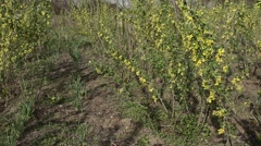 Buds on the currant bushes. - stock footage
