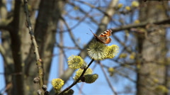 Butterfly on blossoming pussy-willow flowers Stock Footage