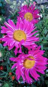 Red aster, close-up of bokeh, flower photo. - stock photo