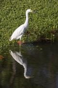 Snowy Egret Reflected on Pond - stock photo