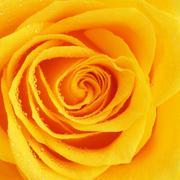Yellow Rose Flower - stock photo