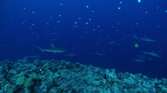 Grey reef shark swimming on exposed seaward wall and plateau, Carcharhinus - stock footage