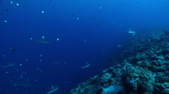 Grey reef shark swimming on exposed seaward wall and plateau, Carcharhinus Stock Footage
