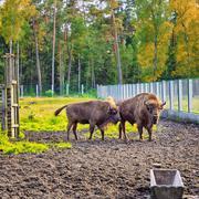 European Bison In Wildlife Sanctuary Kuvituskuvat