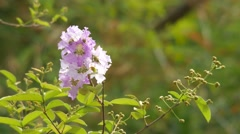 Crape myrtle flower shaking with wind Stock Footage