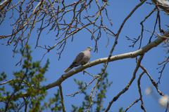 Turtledove on a branch of a silver poplar - stock photo