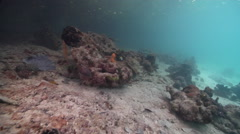 Ocean scenery sponges, coralline algae and corals, on shallow silty but clear Stock Footage