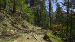 Steadicam shot in the pine forest at great sunny day Stock Footage