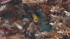 Goldbelly cardinalfish hovering on hard coral microhabitat, Ostorhinchus Stock Footage