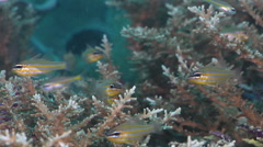 Yellow-striped cardinalfish hovering on hard coral microhabitat, Ostorhinchus Stock Footage