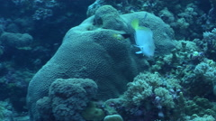 Female adult Splitlevel hogfish cleaning and being cleaned on exposed seaward Stock Footage
