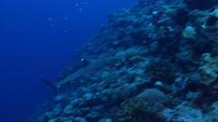 Whitetip reef shark swimming on exposed seaward wall and plateau, Triaenodon - stock footage