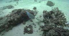 Venus tuskfish hunting on stressed coral reef, Choerodon venustus, 4K UltraHD, - stock footage