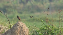 Common myna birds on the soil pile in the field Stock Footage