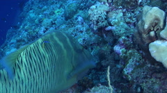 Humphead maori wrasse hunting on exposed seaward wall and plateau, Cheilinus Stock Footage