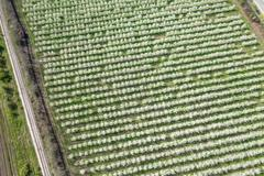 Aerial over rows of orchards. Blooming young fruit trees. - stock photo