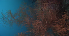 Vertical display shot of Bushy brown black coral feeding on deep coral reef, - stock footage