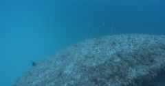 Queensland grouper fleeing on wreckage, Epinephelus lanceolatus, 4K UltraHD, Stock Footage