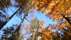 Rotating low angle shot of beech trees with foliage in fall colors in forest Stock Footage