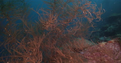 Bushy brown black coral feeding on deep coral reef, Antipathes sp., 4K UltraHD, Stock Footage