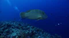 Humphead maori wrasse swimming on exposed seaward wall and plateau, Cheilinus Stock Footage