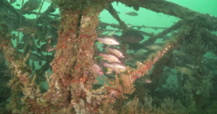 Moses perch hiding and schooling on turbid inshore greenwater, Lutjanus Stock Footage