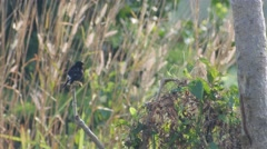 Pied bushchat bird resting and relaxing on the tree branch Stock Footage