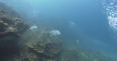 Tea-leaf trevally hunting and schooling on coral reef, Caranx papuensis, 4K Stock Footage