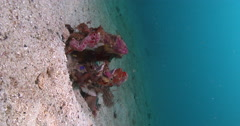 Vertical display shot of adults and juveniles Twospot wrasse swimming on sandy Stock Footage