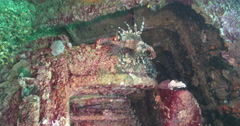 Vertical display shot of Common lionfish hunting on wreckage. - stock footage